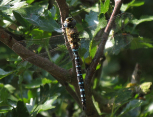 Dragonfly - Migrant Hawker