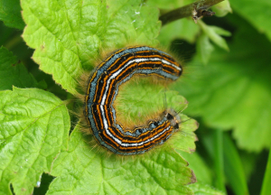 The Lackey moth larva