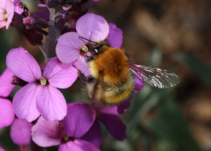 Carder Bee sp.