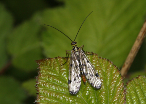Scorpion Fly sp.