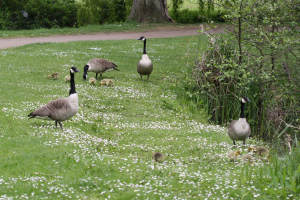 Canada Geese families
