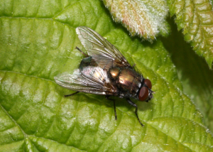 Greenbottle species?