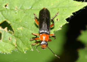 Soldier Beetle - Cantharis sp.