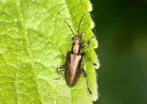 Beetle - Plateumaris sp.?