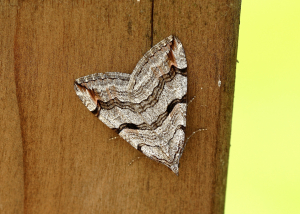 Moth - Treble-bar