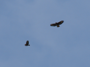 Buzzards hunting over fields near Clovelly