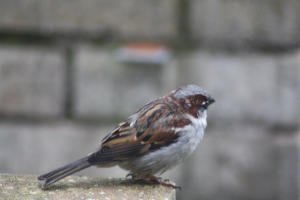 Garden Bird.  5.  House Sparrow