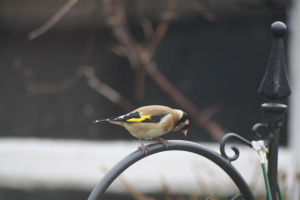 IGarden Bird.  7.  Goldfinch.