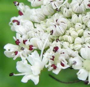 Unknown umbellifer