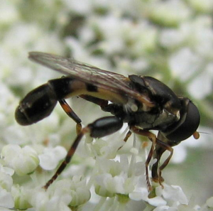 Unknown hoverfly