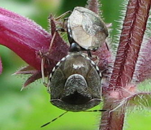 Unknown shield bugs