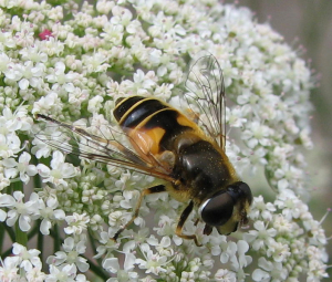 Unknown eristalis species 4