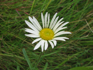 Unknown daisy