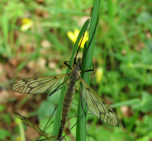 Unknown crane-fly