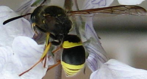 Ancistrocerus sp.
