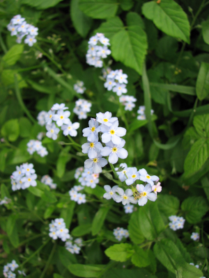 Water Forget-me-knot