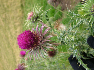 What sort of thistle?