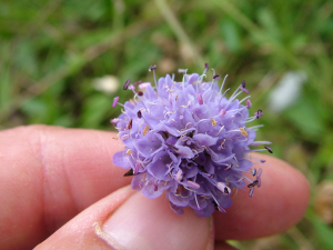 Scabious: which one?