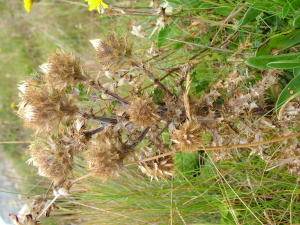 Thistle: what sort?