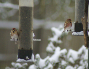 red poll pair
