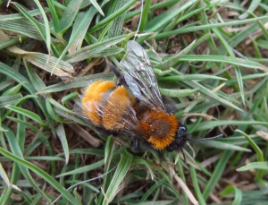 Common Carder Bee?