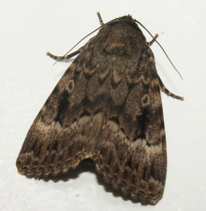 Copper Underwing/Svensson's Copper Underwing?