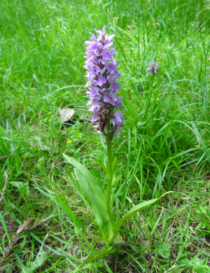 orchid sp.?