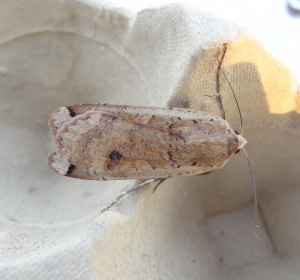 Lunar Yellow Underwing?