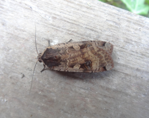 Large Yellow Underwing?