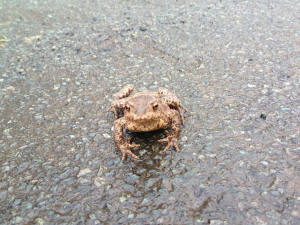 a common toad?