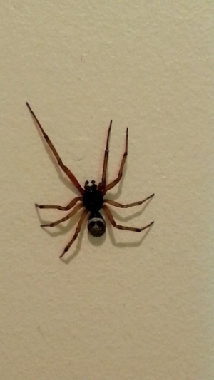 awesome looking spider (sorry about quality)