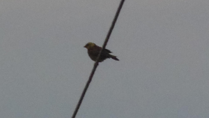 corn bunting or yellowhammer