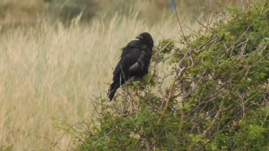 Raven or Carrion Crow
