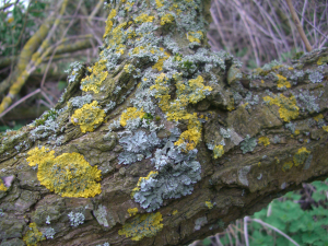 leafy lichen to west of coal fired power station