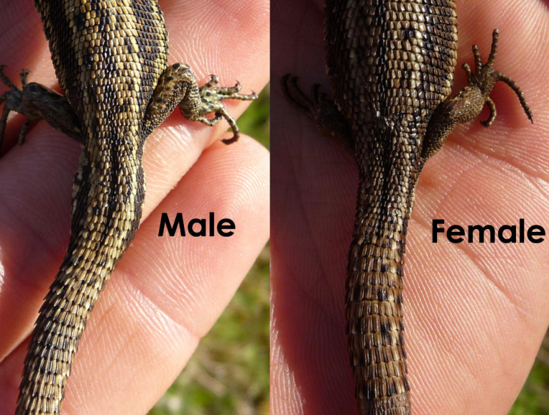 How to sex n alligator lizards