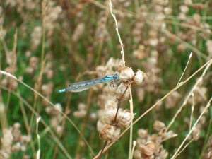 Azure or Common Blue Damselfly