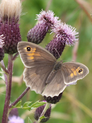 Brown/grey butterfly