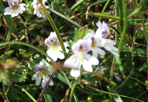 Irish Eyebright