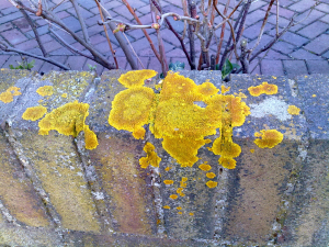 Lichens in the garden