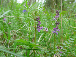 wildflower monks wood cambs