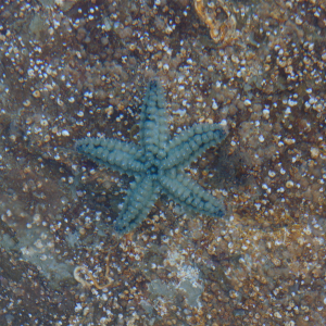 Unknown starfish