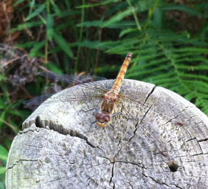 Large Orange Dragonfly