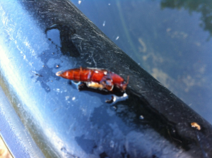 Red / Brown Beetle