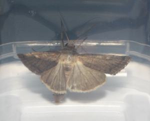 do you know this moth?