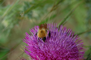 Bee on Carduus nutans Sker Point (4)