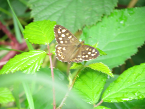 Speckled Wood R.B.G. Kew