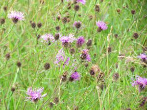 Knapweed, Newtown Isle of Wight