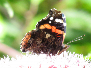 Red Admiral on Hemp Agrimony