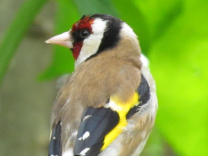 Goldfinch, Prague Zoo, Czech Republic