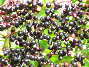 Elder fruits, St. Lawrence, Isle of Wight